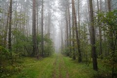 Foggy forest in Poland. Foggy forest in the morning (Poland Royalty Free Stock Images