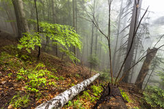 Foggy forest in Romanian Carpathian mountains Stock Image