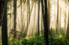 Foggy forest sunlight Stock Photos