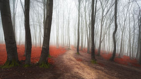 Foggy forest trail through red leaves Stock Photography