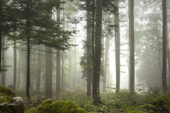 Foggy forest tree landscape Royalty Free Stock Images