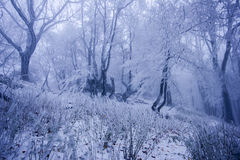Foggy forest in winter Royalty Free Stock Image