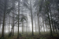 Foggy forrest Stock Photos
