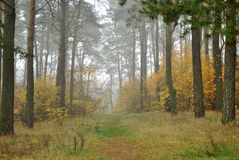 Foggy forrest Royalty Free Stock Photography