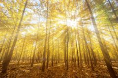 Foggy ginkgo forest royalty free stock images