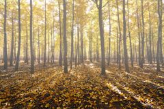 Foggy ginkgo forest Stock Images