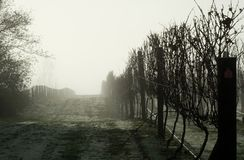Foggy Grapevines Royalty Free Stock Images