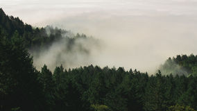 Foggy Green Pine Trees Stock Image