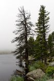 Foggy lake with pines Stock Photography