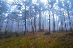 Foggy landscape in the forest. Misty forest in foggy weather in Poland Stock Photo