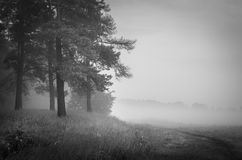Foggy landscape with pines over meadow Stock Photos