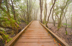 Foggy laurisilva forest in Anaga mountains, Tenerife, Canary island, Spain. Royalty Free Stock Photos