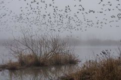 Foggy Lift-off. Ducks, geese, and swans in flight on a foggy morning after being harassed by an American Bald Eagle Royalty Free Stock Images