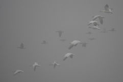 Foggy Lift-off. Snow Geese and Canada Geese in flight on a foggy morning after being harassed by an American Bald Eagle Stock Photos