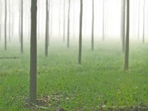 Foggy misty poplar farms and estates India. Reforestation and fog and mist enveloped picturesque poplar farms in karnal india Photo can depict mystery, hidden royalty free stock image