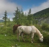 Foggy morning. Foggy morning and horses Royalty Free Stock Photos
