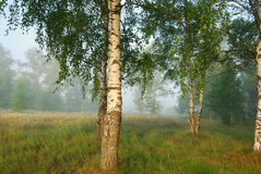 Foggy morning in birch forest Stock Images