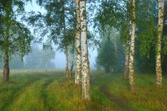 Foggy morning in birch forest Stock Photo