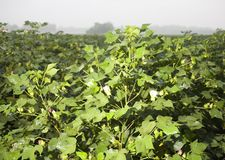 Foggy morning cotton field Royalty Free Stock Image