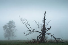 Foggy morning. Foggy morning with dead free Stock Images