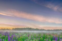 Foggy morning on the field of wild blue lupinus flowers. Beautiful landscape royalty free stock photos