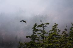 Foggy Morning Flight of Bald Eagle royalty free stock image