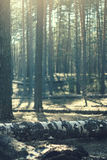 Foggy morning. In the forest Royalty Free Stock Images