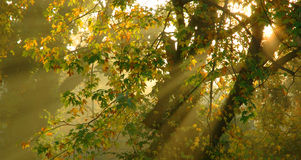 Foggy morning with golden light shining through trees has dreamy Royalty Free Stock Images