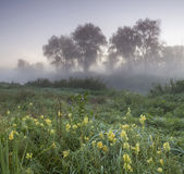 Foggy morning on a green meadow with yellow flowers Stock Images
