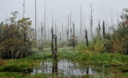 A foggy morning in the Guste Island marsh with dead cypress trees and tropical vegetation Royalty Free Stock Photos