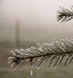 Iced pine branch Royalty Free Stock Photos