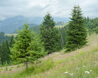 Foggy morning landscape highland forest at Carpathian mountains. Royalty Free Stock Photography