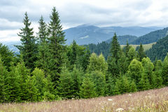 Foggy morning landscape with pine tree highland forest Royalty Free Stock Photo