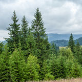 Foggy morning landscape with pine tree highland forest Stock Images