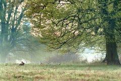 Foggy morning with a little rabbit. Foggy meadow with a little rabbit and the big tree Royalty Free Stock Photos