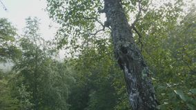 Foggy morning in a pine forest. A tall tree against a blue morning sky. Summer morning. Summer Sunny Forest Trees And. Green Grass Nature Wood Sunlight stock video footage