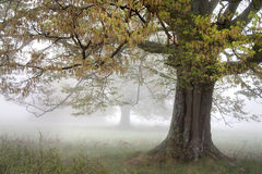 Foggy morning. Trees on a foggy meadow in the early morning Royalty Free Stock Photo