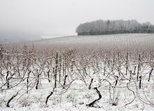 Foggy morning in vineyard. Vineyard covered with snow, England Stock Image