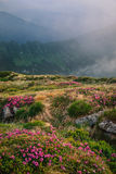 Foggy mountain landscape with blossoming rhododendron flowers. Foggy mountain landscape with blossoming pink rhododendron flowers on sunrise in Carpathian royalty free stock photo