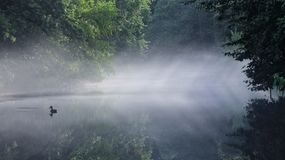 Foggy Musconetcong River. Mallard on foggy river Stock Photos