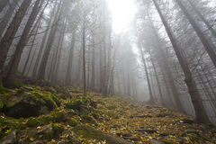 Foggy mystery forest with trees in fall. And rocks Royalty Free Stock Images