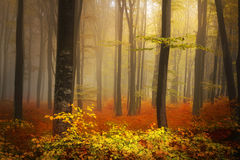 Foggy mystic forest Royalty Free Stock Photography