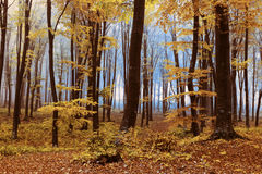 Foggy mystic forest. During fall Royalty Free Stock Photos