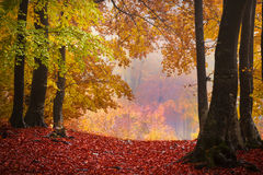 Foggy mystic forest during fall Stock Photos
