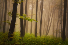 Foggy mystic forest during fall Stock Image