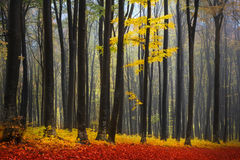 Foggy mystic forest during fall Royalty Free Stock Photo