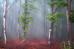 Foggy mystic forest trail Royalty Free Stock Photos