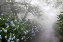 Foggy narrow road with hydrangea flowers Stock Images