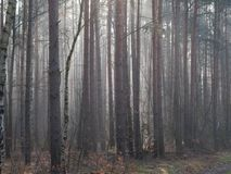 Foggy November Morning In The Woods. Royalty Free Stock Photography