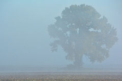 Foggy Oak Tree Royalty Free Stock Image